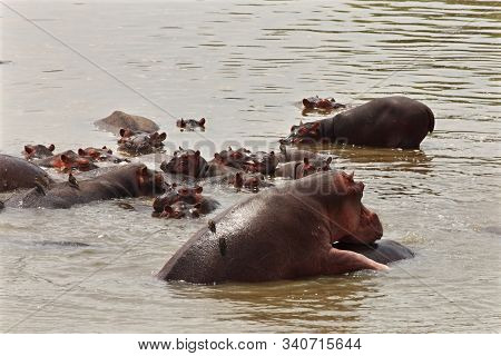 A Group Of Hippos (hippopotamus Amphibius) In The Water. Coupling Hippos, Zambia, South Luangwa.