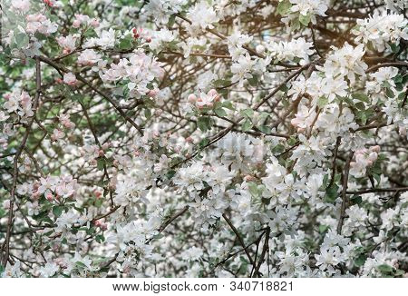 The Branches Of Apple Trees, Profusely Covered With White Flowers.