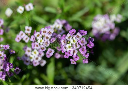 Lobularia Blossom With Purple White Small Flowers, Many Inflorescences On A Thin Stem, Close-up. Gar