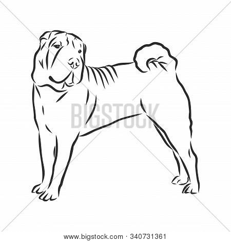 Shar Pei Dog Breed In Front Isolated On White Background.