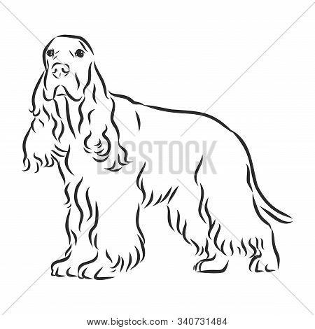 Hand Drawn Vector Illustration English Cocker Spaniel. Sketch Style Dog. Realistic