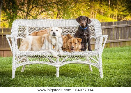 Three Dogs Posing On Chair Outdoor
