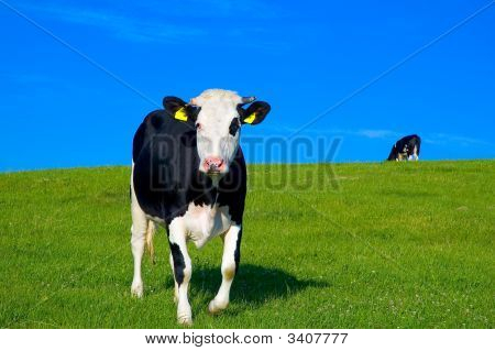 black and white cow in green field with blue sky poster