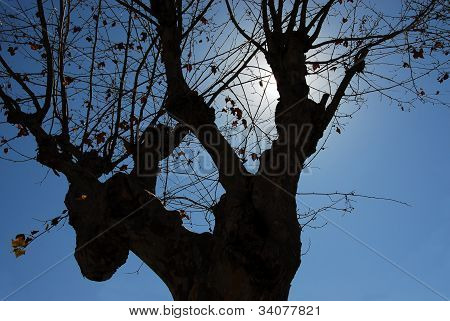 Ancient plane tree in backlight - cloudless blue sky poster