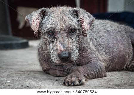 Poor Dog With Tetter In Animal Shelter.. Dog In A Shelter Or An Animal Nursery. Shelter For Animals