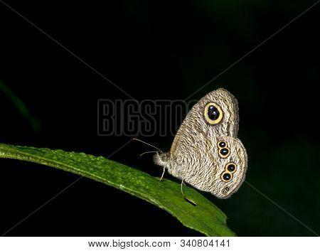 Common Five Ring Butterfy, Ypthima Baldus At Garo Hills In Meghalaya, India