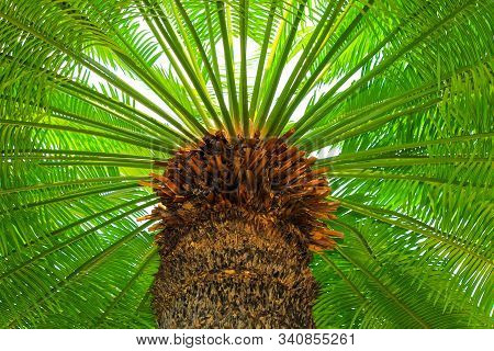 A Large Green Crown Of Tropical Coconut Palm Trees Growing In An Exotic Resort, View From Below. Pal
