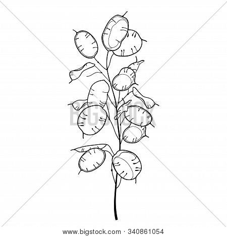 Vector Stem Of Outline Lunaria Or Honesty Or Moonwort Dried Flower Bunch In Black Isolated On White
