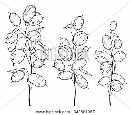 Vector Set Of Outline Lunaria Or Honesty Or Moonwort Dried Flower Bunch In Black Isolated On White B