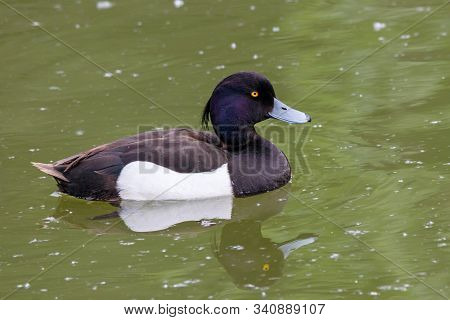 Tufted Duck Aythya Fuligula Male Swimming On Green Water. Cute Bright Diving Waterbird In Wildlife.