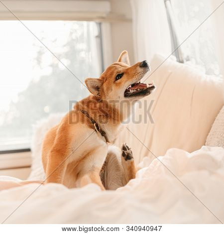 Red Shiba Inu Dog Itching On A Bed Indoors