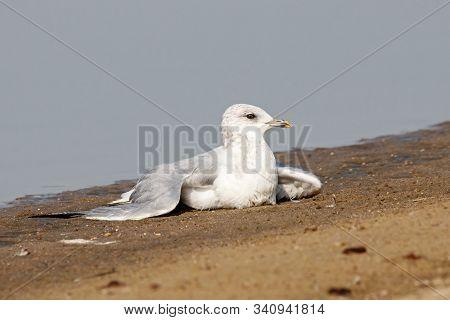 Common gull larus canus ill laying on lake shore beach. Cute white waterbird in wildlife. poster