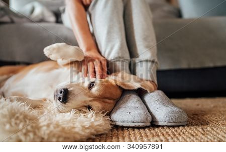Beagle Dog Female Owner Caress Stroking Her Pet Lying On The Back On Natural Stroking Dog On The Flo