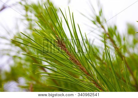 Close-up Of A Small Sprig Of Rosemary Green Wild Herb In Mediterranean Land
