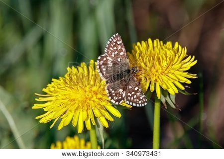Grizzled Skipper Pyrgus Malvae Butterfly Sitting On Dandelion Flower. Cute Brown Spotted Insect In W