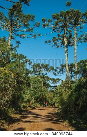 People Hiking On Dirt Pathway Through Forest With Pine Trees At Aparados Da Serra National Park, Nea