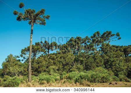 Landscape Of Pine Treetops Amid Lush Forest In The Aparados Da Serra National Park Near Cambara Do S