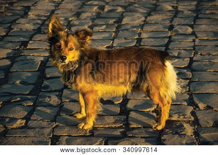 Cute Mutt Dog Standing On Stone Paved Alley At Sunset In Cambara Do Sul. A Small Country Town In Sou