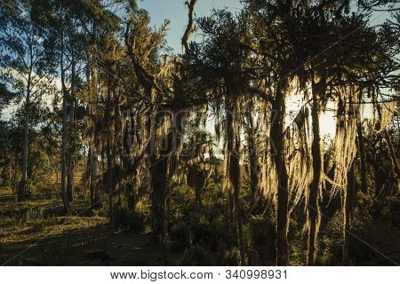 Tree Branches Covered By Lichen And Epiphytes With Sunlight Passing Through Amid Grove Near Cambara