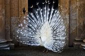 White Peacock standing in front of a door showing it's tail feathers poster