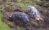 Two small Pietrain pigs with curly tails incessantly rooting in the mud poster