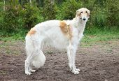 Russian borzoi greyhound dog standing. Outdoor shoot poster