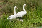 Swan parents in reeds Young cygnet is lying down poster