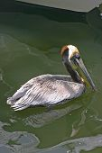 A pelican swimming in polluted green water poster