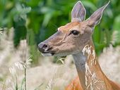Closeup of a female white tailed deer poster