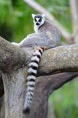 Lemur on tree in Miami zoo poster