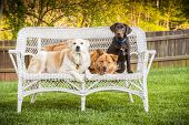 Dogs sitting outdoor and posing on wicker loveseat poster
