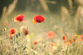 Poppy field sunrise sun sunset Nature background poppies Nature background spring red wildflowers Nature background close-up fresh poppy flowers Nature background vibrant field Nature background flowers Nature background color flowers Nature background.