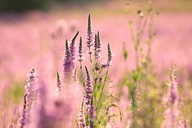 Loosestrife flowers field dawn morning sunrise sun sunset Nature background Nature background vibrant color Nature background close-up flowers field Nature background Nature background wildflowers outdoor Nature background flowers meadow Nature background