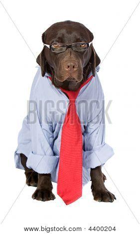 Working Labrador