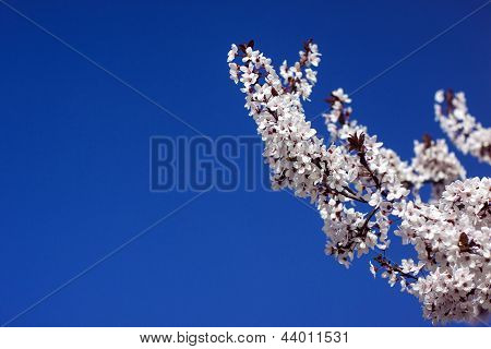 Blossoms of Plum Tree