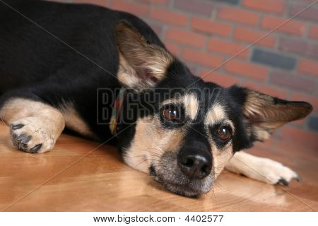 Dog On Floor With Paws Out And Looking Depressed