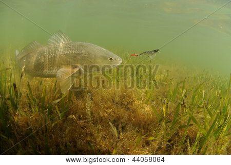 Redfish In Ocean Chasing Lure