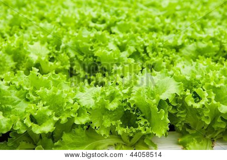 Green Salads In Hothouse