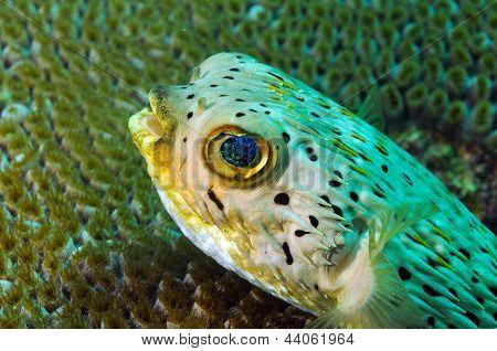 Close Up Of Blowfish Underwater In Ocean