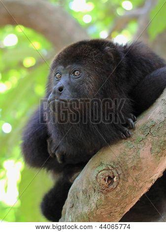 Pensive Black Howler Monkey