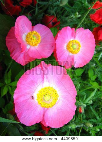 beautiful pink flowers of red poppy