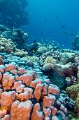 coral reef with stony corals at the bottom of red sea in egypt poster