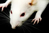 a close-up photo of a white rat with red eyes poster