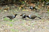 beautiful white-necked laughingthrush (Garrulax strepitans) in Thai forest poster