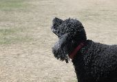 Black standard poodle with red collar barking poster
