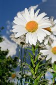 White daisies on blue sky background . poster