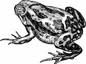 Vector image of a big spotted frog. poster
