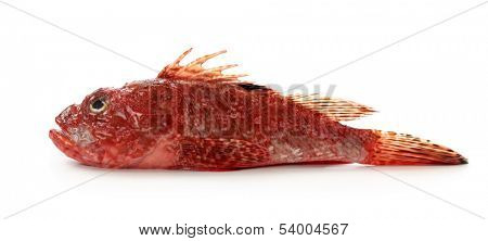 Red scorpionfish or Scorpaena scrofa isolated on white background