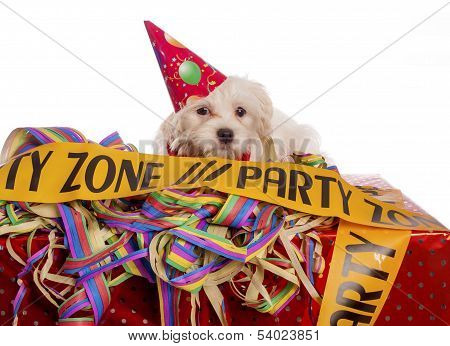 Maltese Dog With Party Hat With White Background