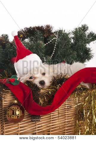 Maltese Dog In Decorated Christmas Basket